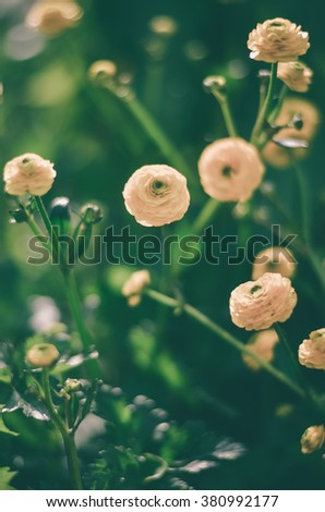Buttercup flower background. Vintage photo of beautiful buttercup flowers. Close up of yellow flowers growing on meadow. Selectiv focus.  - stock photo