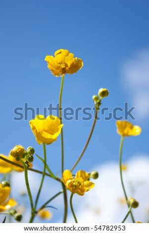 buttercup. yellow  flower - stock photo