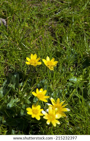 buttercups in a lush green garden lawn in county Kerry Ireland - stock photo