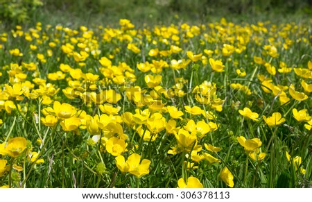 Buttercups in the Meadow - stock photo