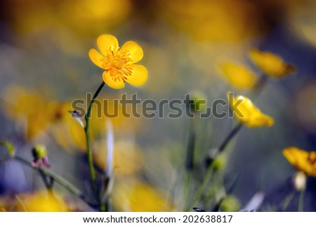 Buttercups - meadow in the moon light - stock photo
