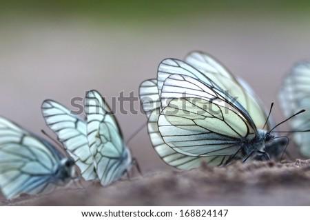 Butterflies. Black-veined White (Aporia crataegi) - stock photo