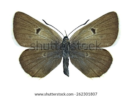 Butterfly Agriades pheretiades (female) on a white background - stock photo