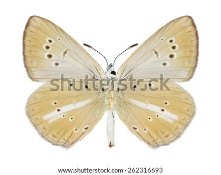 Butterfly Agrodiaetus damon (female) (underside) on a white background - stock photo