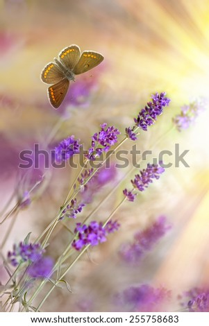 Butterfly and lavender lit by sun rays (sunbeams) - stock photo