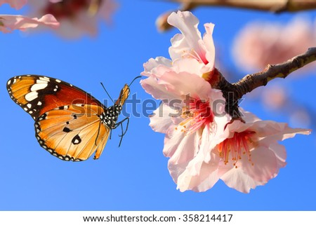 Butterfly and pink almond tree blossom  - stock photo