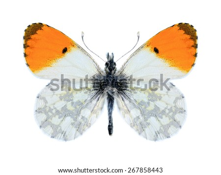 Butterfly Anthocharis cardamines phoenissa (male) on a white background - stock photo
