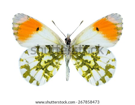 Butterfly Anthocharis cardamines phoenissa (male) (underside) on a white background - stock photo