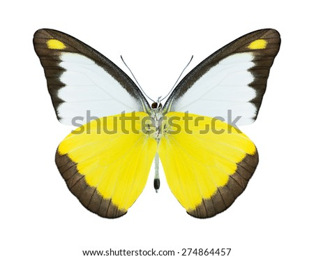 Butterfly Appias lyncida (male) (underside) on a white background - stock photo
