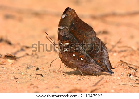 Butterfly  (Autumn Leaf ) - stock photo