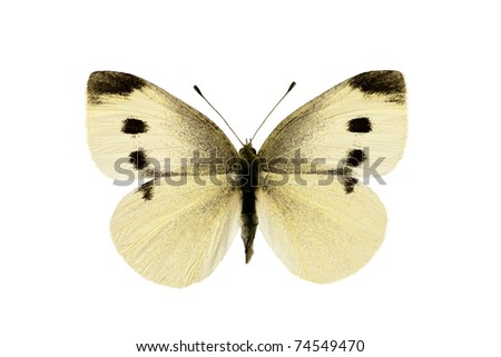 Butterfly, Cabbage White, Pieris rapae, male, wingspan 44mm - stock photo
