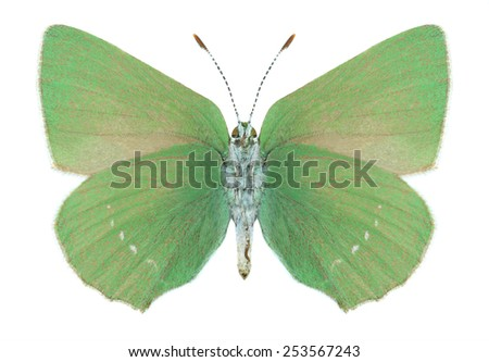 Butterfly Callophrys paulae (underside) on a white background - stock photo