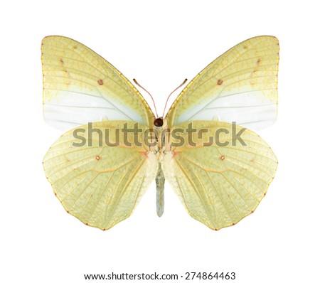 Butterfly Catopsilia florella (underside) on a white background - stock photo