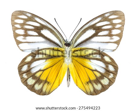 Butterfly Cepora timnatha (male) (underside) on a white background - stock photo