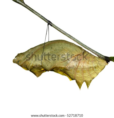 Butterfly cocoon isolated - stock photo