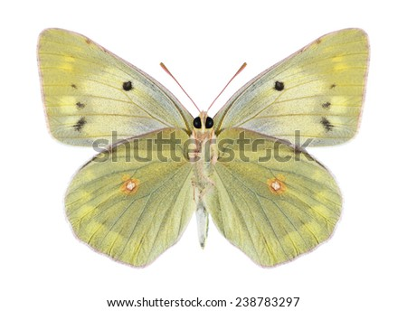 Butterfly Colias aurorina (female) (underside) on a white background - stock photo