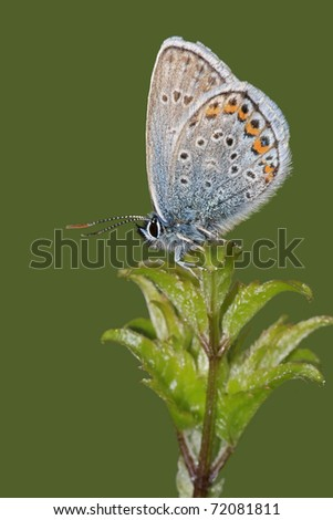 Butterfly Common Blue (Polyommatus icarus) - stock photo