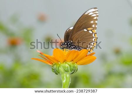 Butterfly,Common Mime (Chilasa clytia) - stock photo