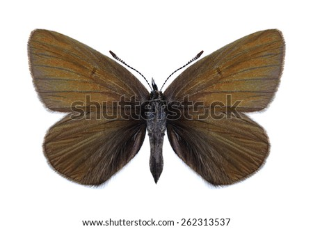Butterfly Cyaniris semiargus (female) on a white background - stock photo