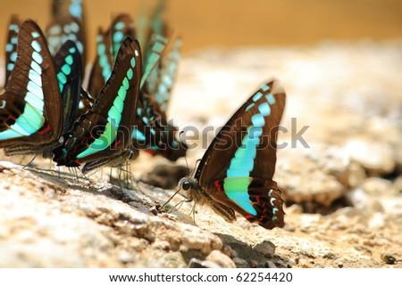 butterfly drinking earth moisture - stock photo