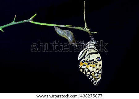 butterfly emerging from its chrysalis on black background - stock photo