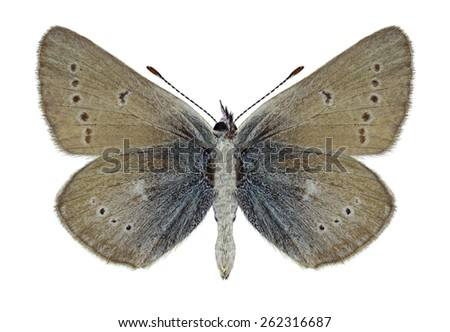 Butterfly Eumedonia persephatta (underside) on a white background - stock photo