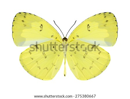 Butterfly Eurema ada (male) (underside) on a white background - stock photo