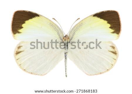 Butterfly Eurema elathea (female) on a white background - stock photo