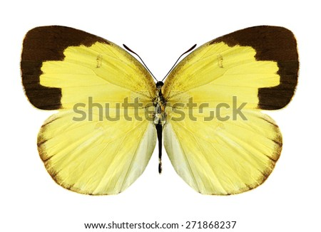 Butterfly Eurema hecabe (male) on a white background - stock photo