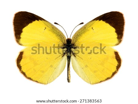 Butterfly Eurema lisa (male) on a white background - stock photo