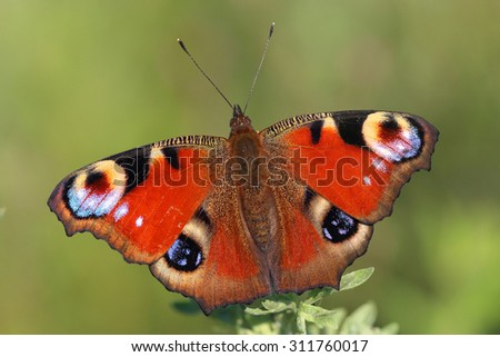 Butterfly - European Peacock (Inachis io) sitting on  grass. Macro - stock photo