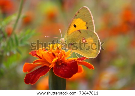 butterfly extracting nectar from an orange blossom - stock photo