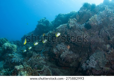 Butterfly fish and coral reef. - stock photo