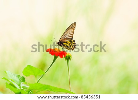 Butterfly flying on Cosmos flower - stock photo