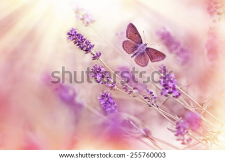 Butterfly flying over lavender - stock photo
