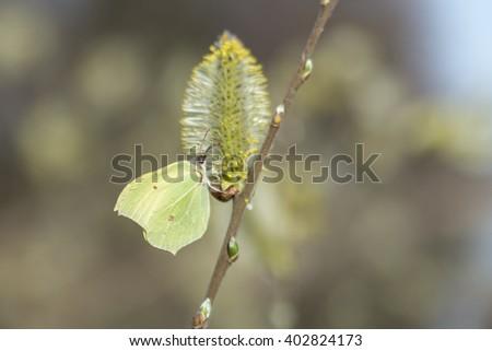 Butterfly: Gonepteryx rhamni drinking nectar from flower - stock photo