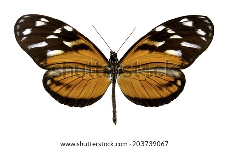 Butterfly Heliconius ismenius f (Clipping path) - stock photo