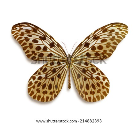 Butterfly Idea lynceus isolated on white background - stock photo