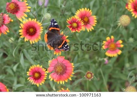 Butterfly in a field of Firewheels - stock photo