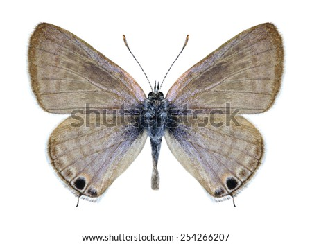 Butterfly Lampides boeticus (male) on a white background - stock photo