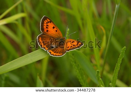 Butterfly large copper on leaf of grass - stock photo