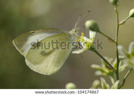 Butterfly Large White - Pieris brassicae - stock photo