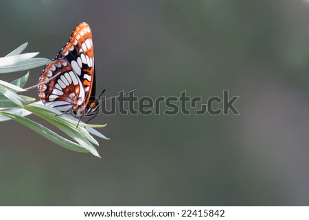 Butterfly (Lorquin's Admiral) - stock photo
