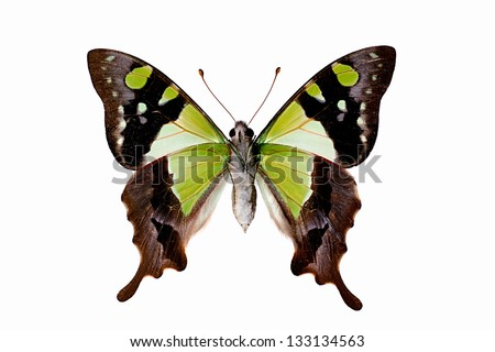 Butterfly - Macleays Swallowtail underside, Graphium macleayanus - stock photo