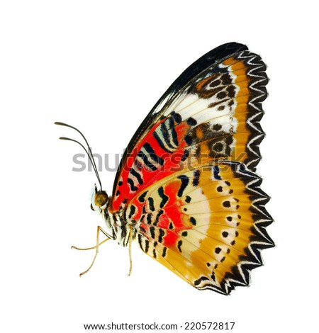 Butterfly, Malay Lacewing, Leopard Lacewing butterfly isolated on white background. - stock photo
