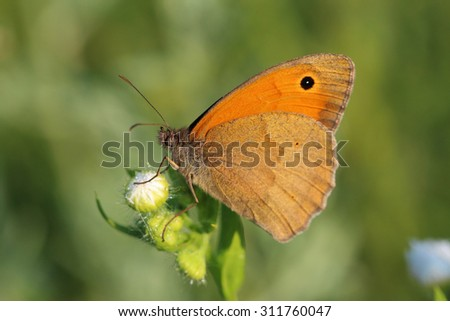 Butterfly - Meadow brown (Maniola jurtina). Macro - stock photo