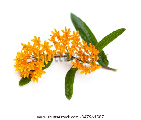 Butterfly Milkweed (Asclepias tuberosa) on a white background - stock photo