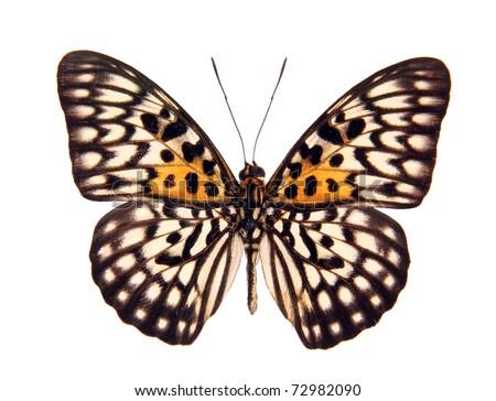 Butterfly Neurosigma Siva Nonius isolated on white - stock photo