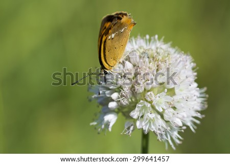 butterfly of Lycaenidae brown color close-up collects nectar from a white flower - stock photo