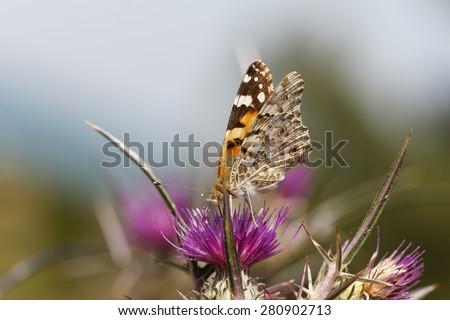 Butterfly on a purple flower. Beautiful orange butterfly. - stock photo